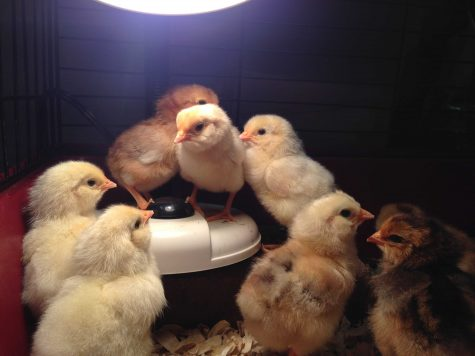 05-06 Baby Chickens 2